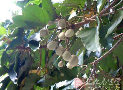 秋季桌熟时采收,取出种子晒干.   石栗(《南方草木状》),又名:烛果树.