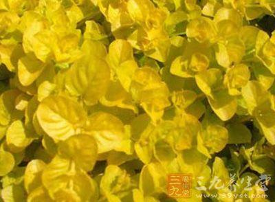 为双子叶植物药报春花科植物苍白过路黄的全草