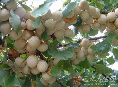 本品为银杏科植物银杏(白果树,公孙树)的干燥成熟种子