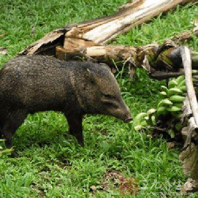 猪灌是什么动物