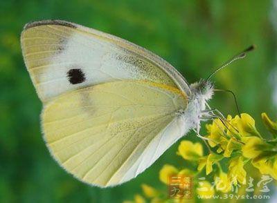 为粉蝶科动物白粉蝶成虫的全体