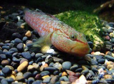 鰕虎鱼 - 第1张  | 中草药图片大全-中药的功效与作用