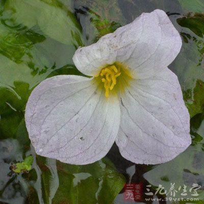 花瓣3,白色、淡紫色或蓝白色,广倒卵形