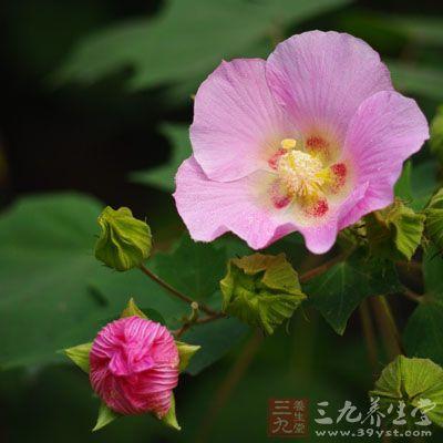 花单生于枝端叶腋间,花梗长约5-8mm