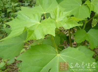 药材基源:为锦葵科植物木芙蓉的叶