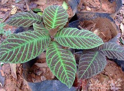 为紫金牛科植物走马胎的叶