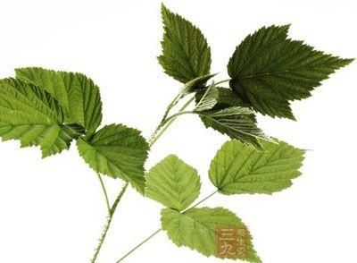 药材基源:为蔷薇科植物掌叶覆盆子的茎叶
