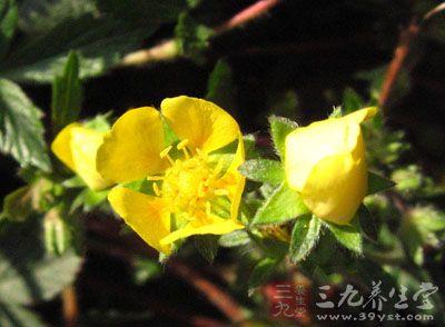 叶柄短或无。伞房状聚伞花序顶生,花多,松散