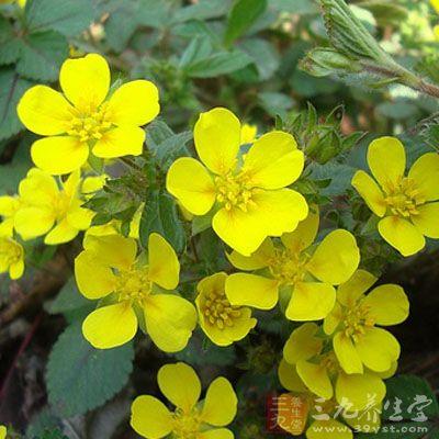 花瓣倒卵形,顶端圆钝或微凹;花柱近顶生,上部大,下部小