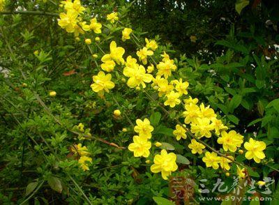 药材基源:为木犀科植物滇素馨的根或叶