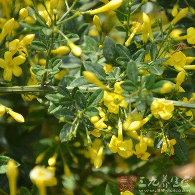 花冠黄色,近漏斗状,花冠管长0.8-1.2cm,裂片4-5枚
