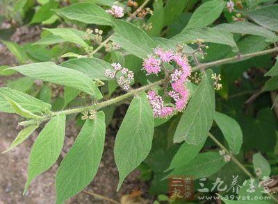 药材基源:为双子叶植物药马鞭草科植物大叶紫珠的根或叶图片