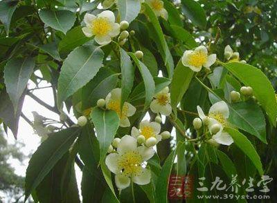 为山茶科植物木荷的叶