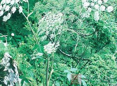 羌活是多年生草本植物,高60到120厘米