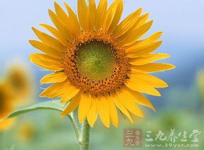 向日葵花粉