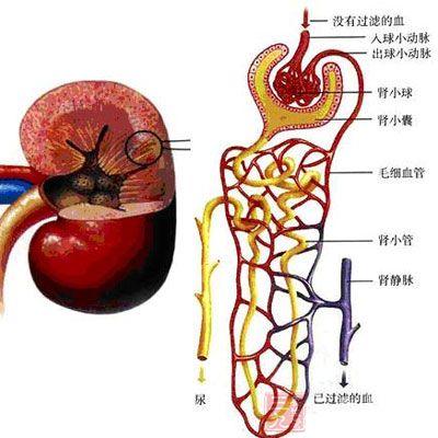 人体肾部位结构图