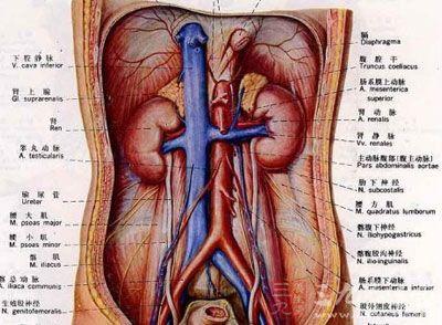 人体膀胱部位结构图