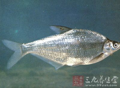 清蒸鳊鱼 怎样做出美味的清蒸鳊鱼