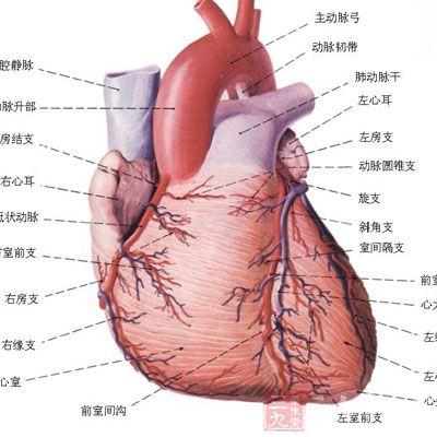 心肌显微镜手绘图
