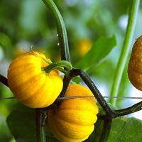 南瓜的功效与作用 常吃南瓜有哪些好处