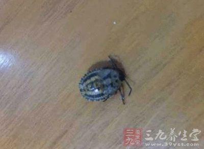 云南墨江10男子餐馆里吃臭屁虫中毒 痛得不能动