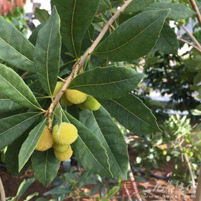 养生网酸性水果如杨梅、梅子、李子等,所含的酸性物质不易被氧化分解,容易导致体内偏酸