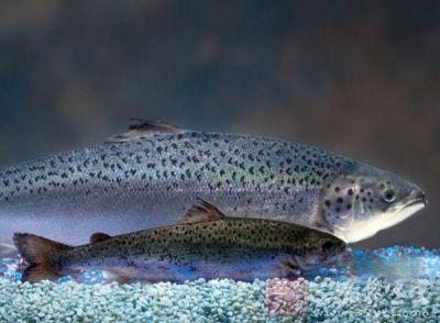 可v乌龟转基因乌龟转基因白色在美被上市批准鲑鱼脚上长动物泡图片
