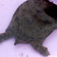 甲鱼的功效与作用 吃甲鱼能有效抗癌