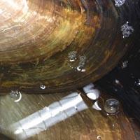 河蚌的功效与作用 吃河蚌能提高免疫力