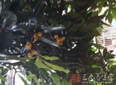 夏天是枇杷成熟的时候,枇杷果实吃起来甘润甜美