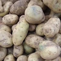发芽马铃薯中毒