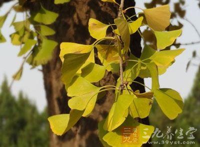 银杏树叶的营养价值 用其泡茶喝能清热利尿
