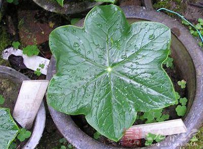 八角莲叶是一种稀少的野生药用植物