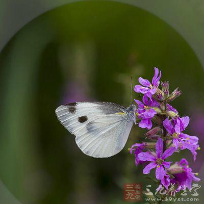 属于昆虫纲鳞翅目粉蝶科,是一种在世界各地都有分布的普通蝴蝶