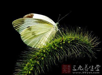 白粉蝶从名字就可以看出是一种粉蝶科昆虫