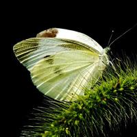 白粉蝶的药用价值与作用