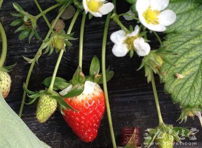 积食腹胀、胃口不佳时,可在饭前吃草莓60克
