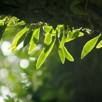 抱树莲的药用价值与作用