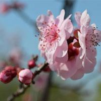 桃花的功效 桃花做的食物能减肥还防便秘