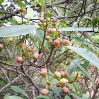 变叶榕的药用价值与作用