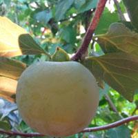 柿子叶的功效 多食用柿子叶能抗癌降血脂
