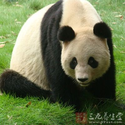 去动物园看看憨态可掬的大熊猫