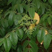 臭辣树药用价值与作用