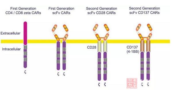 """为了进一步改良CAR的设计,许多研究组开始着眼于发展第三代CAR,不仅包括""""信号1""""、""""信号2"""",还包括了额外的共刺激信号。不同研究者们用不同材料开展的研究所得到的第二代CAR和第三代CAR的比较结果是矛盾的。不过,新一代CAR-T能有效控制毒性。   透视ACT毒性   十多年来,许多ACT临床试验表明各类工程化的细胞产品相当安全,但有效性相对缺乏。过去的4年里,ACT的疗效发生了一场革命性变化,体现在工程化的T细胞可以在体内大量扩增,甚至在某些情况"""