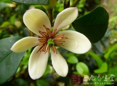 茶叶的制作 白兰花茶有哪些加工过程