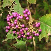紫珠叶的药用价值
