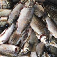 利尿类食物鲫鱼