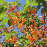 樱桃的营养价值 多食用樱桃能滋养肝肾