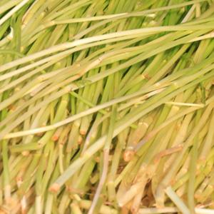 蘆蒿的營養價值有哪些