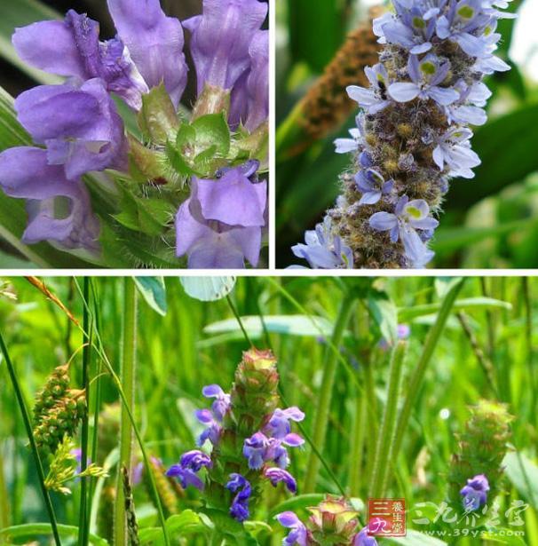 高血压能食用夏枯草吗 有哪些好处呢